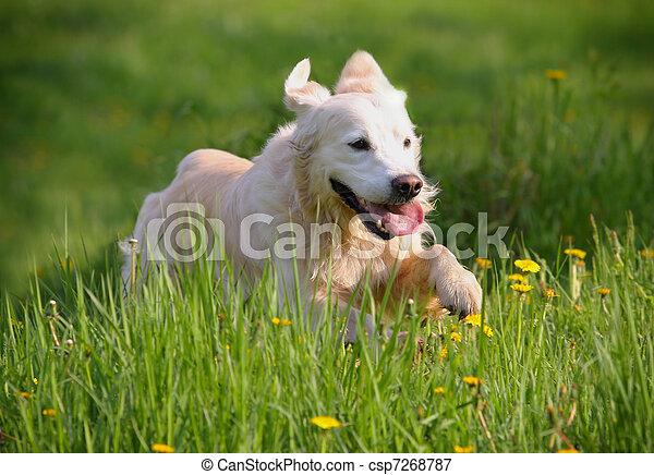 golden retriever dog running - csp7268787
