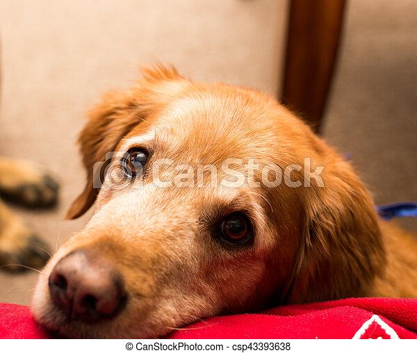 Golden retriever dog. - csp43393638