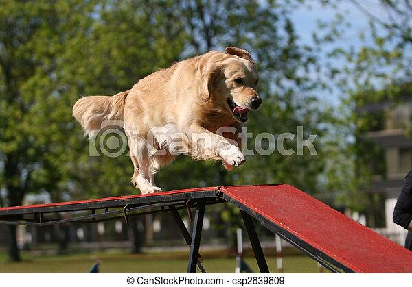 Golden Retriever doing dog agility - csp2839809
