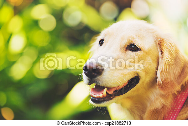 Golden Retriever - csp21882713