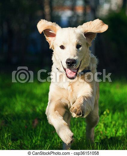 Golden Retriever Puppy Runs Over The Meadow