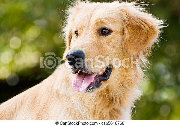 Golden Retriever stick its tongue out - csp5616760