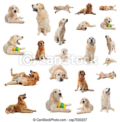 Group Of Purebred Golden Retriever And Puppy In Front Of A White