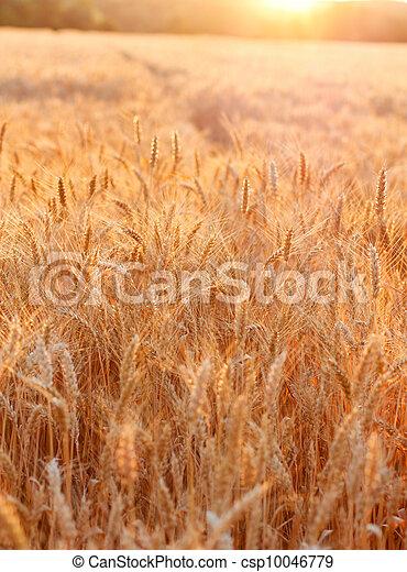 Golden sunset over wheat field - csp10046779
