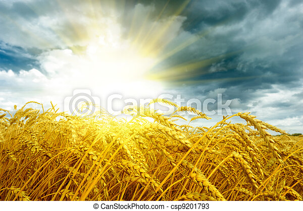 Golden sunset over wheat field - csp9201793