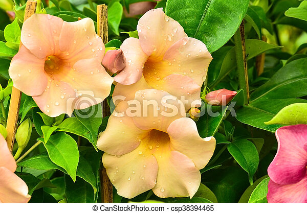 Golden trumpet vine bloomong in garden golden trumpet vine csp38394465 mightylinksfo