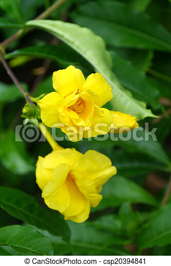 Golden trumpet vine yellow bell flower allamanda cathartica l mightylinksfo