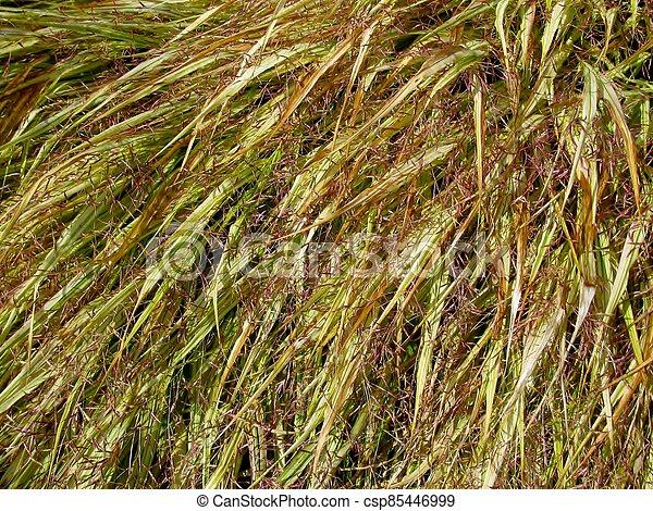 Golden-variegated Japanese forest grass background - csp85446999