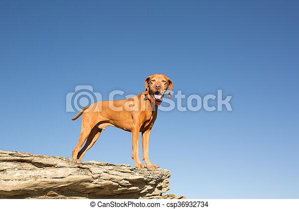 golden vizsla dog standing on clff outdoors - csp36932734
