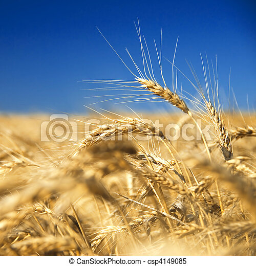 golden wheat against blue sky - csp4149085