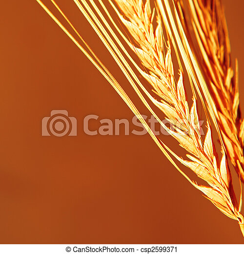 Golden wheat close up background. - csp2599371
