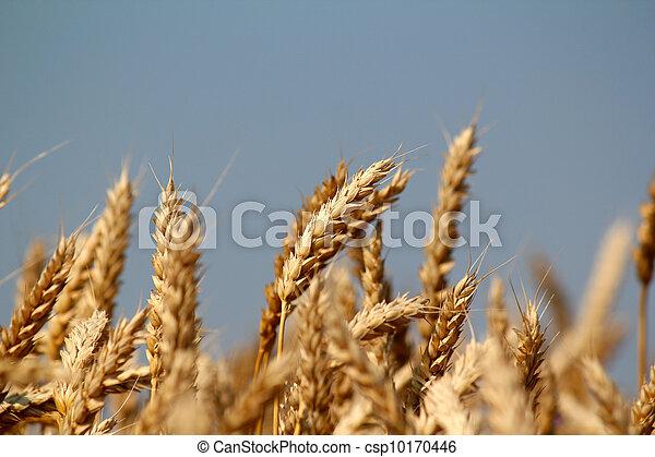 golden wheat field close up - csp10170446