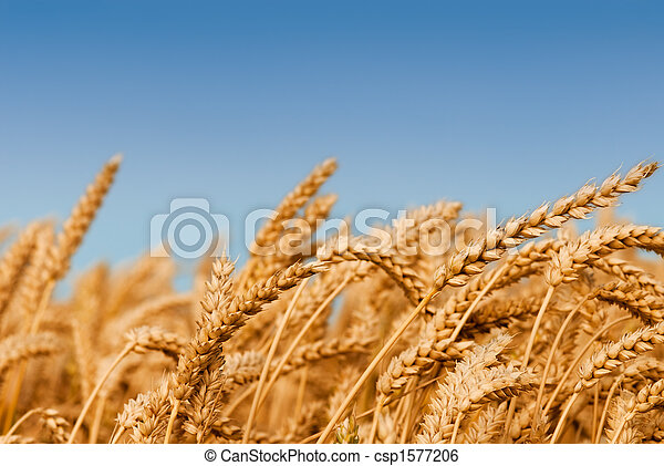 Golden wheat field - csp1577206