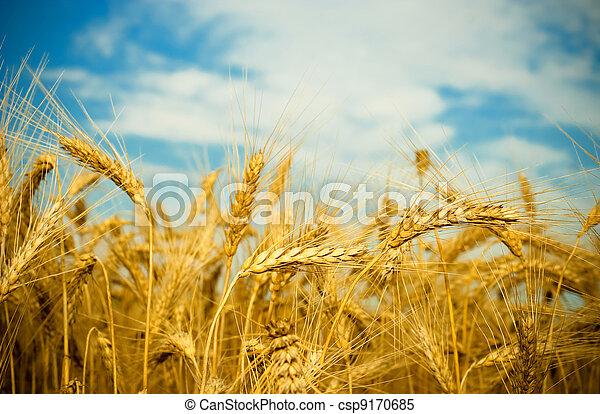 golden wheat field - csp9170685