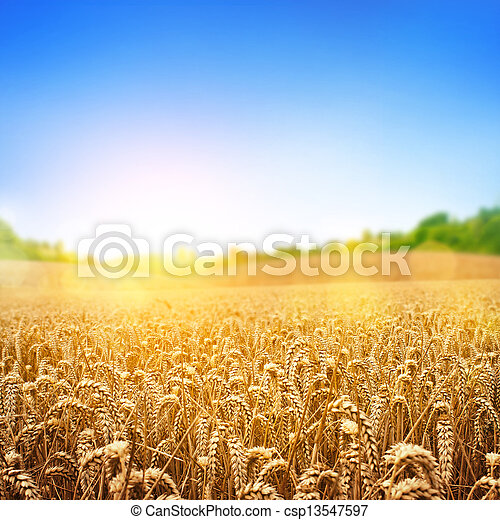 Golden Wheat Field - csp13547597