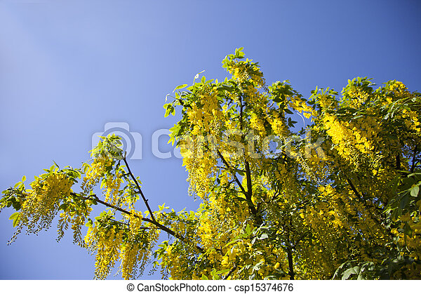 Golden yellow chain tree Laburnum with flowers with blue sky background - csp15374676