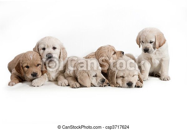 goldener apportierhund, -, hund, hundebabys - csp3717624