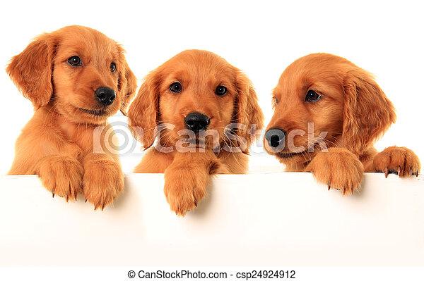 goldener apportierhund, hundebabys - csp24924912