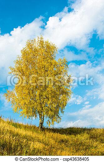 Ein einziger Birkenbaum Goldene Blätter des Herbstes. - csp43638405