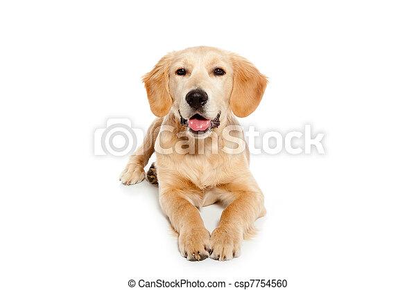 goldenes, hund, freigestellt, weißes, junger hund, apportierhund - csp7754560