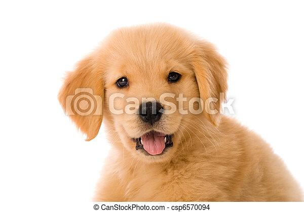 goldenes, junger hund, apportierhund - csp6570094