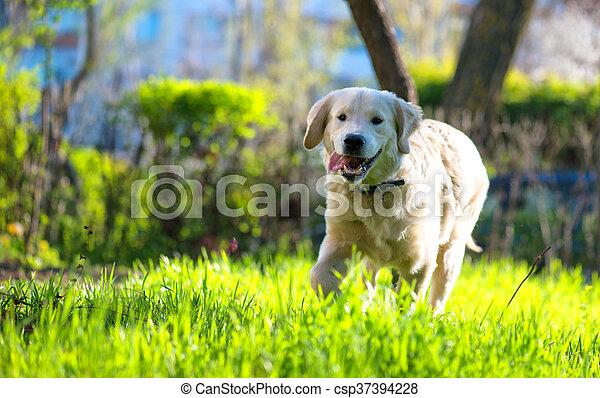 goldenes, läufe, wiese, aus, junger hund, apportierhund - csp37394228