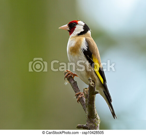 goldfinch - csp10428505