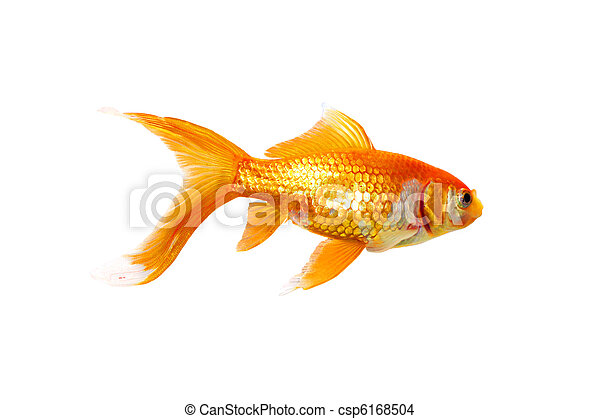 goldfisch, ledig - csp6168504