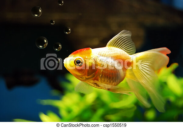 Goldfish blowing bubbles - csp1550519