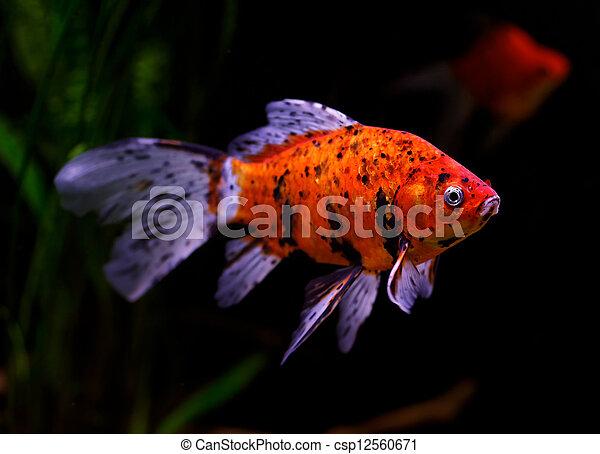 Goldfish (Carassius auratus auratus) swimming underwater - csp12560671