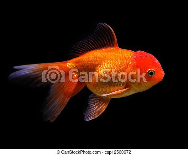 Goldfish (Carassius auratus auratus) swimming underwater - csp12560672
