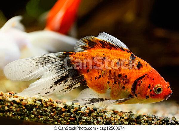 Goldfish (Carassius auratus auratus) swimming underwater - csp12560674
