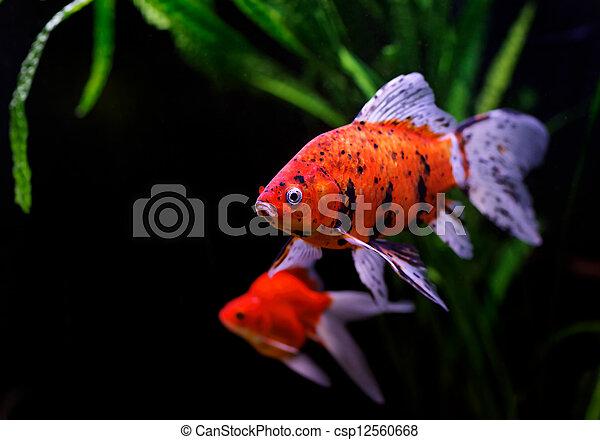 Goldfish (Carassius auratus auratus) swimming underwater - csp12560668