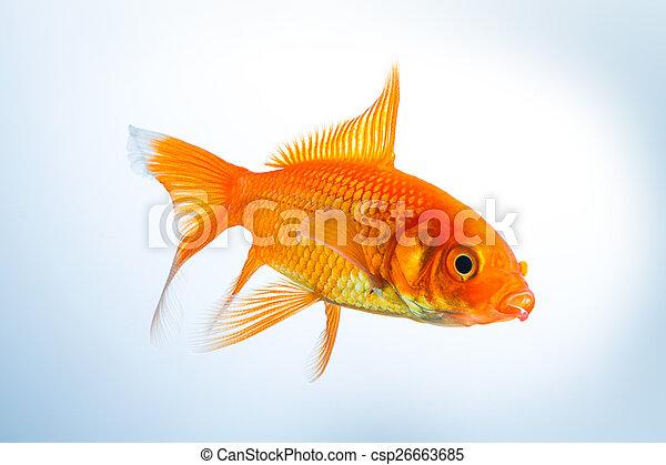 Goldfish (Carassius auratus) - csp26663685