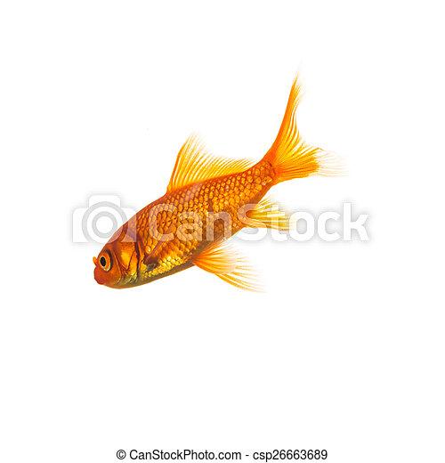 Goldfish (Carassius auratus) - csp26663689