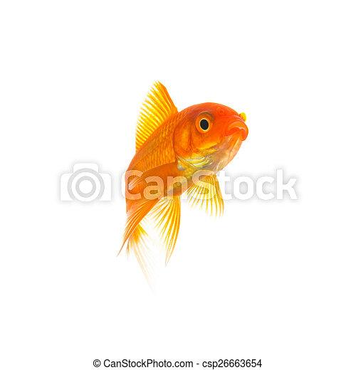 Goldfish (Carassius auratus) - csp26663654