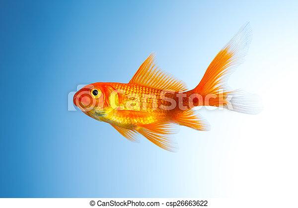 Goldfish (Carassius auratus) - csp26663622