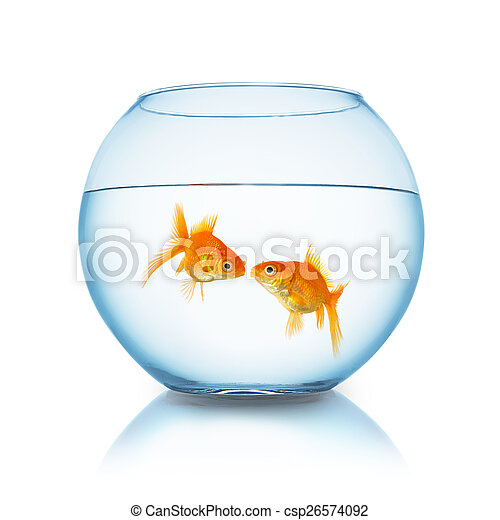 goldfish couple kiss in a fishbowl - csp26574092