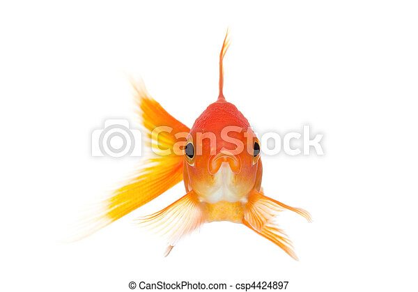 goldfish front view isolated on white - csp4424897