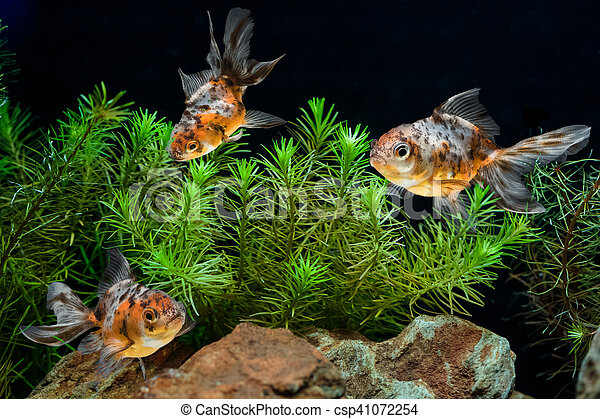 Goldfish in aquarium with green beautiful planted tropical - csp41072254