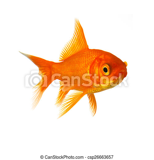 Goldfish in front of a white background - csp26663657