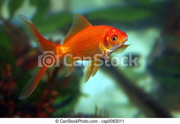 Goldfish Kiss - csp0083011