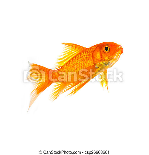 Goldfish of a white background - csp26663661