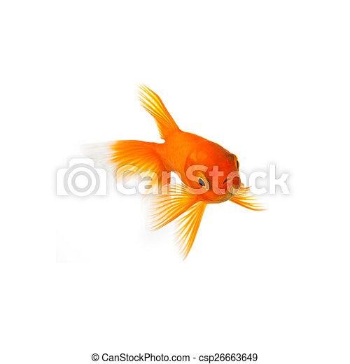 Goldfish  - csp26663649