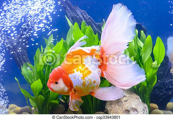 Goldfish - csp33943801