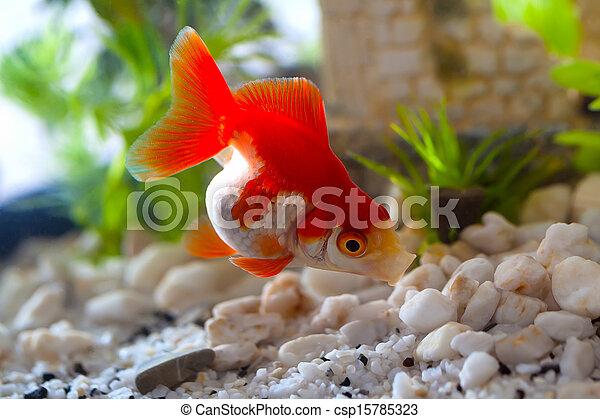 goldfish sucks a rocks in the aquarium - csp15785323