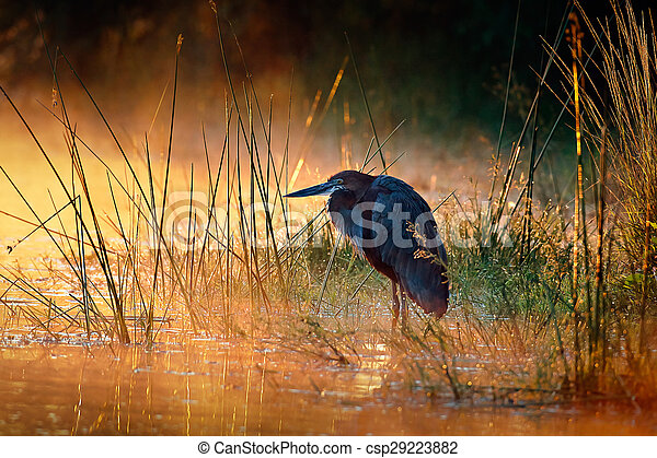 Goliath heron with sunrise over misty river - csp29223882