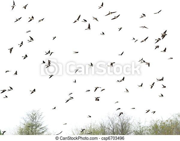 Golondrinas, bandada de pájaros - csp6703496