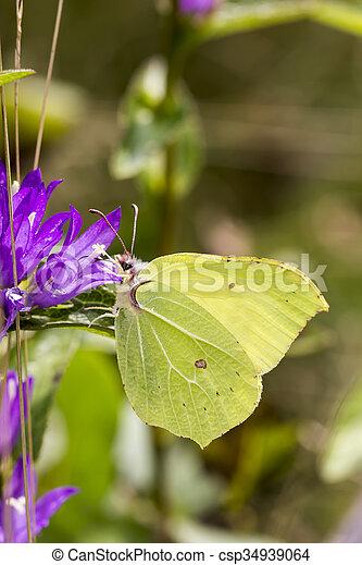 Gonepteryx rhamni, Brimstone - csp34939064