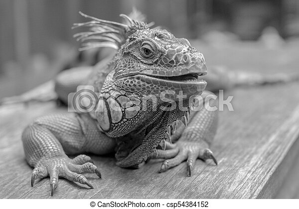good looking iguana picture in black and white lovely